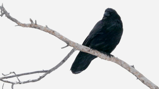 Common Raven sitting in a tree, Yellowstone National Park, Wyoming in winter
