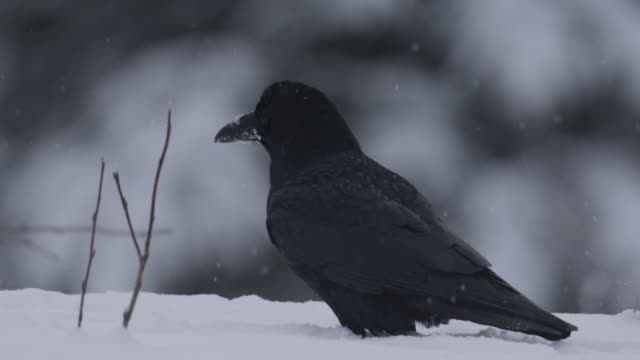 common raven (corvus corax) takes off in snowy forest, alaska, usa - raven stock videos & royalty-free footage