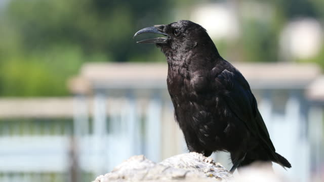 Common Raven (Corvus corax) with blurred urban environment behind