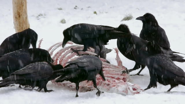 Common Ravens, pecking at carcass looking for food, Yellowstone National Park, Wyoming, in winer