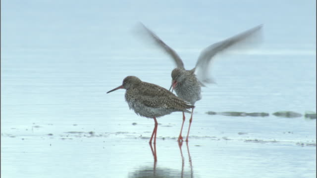 Common redshank? flaps wings in courtship display, Bayanbulak grasslands