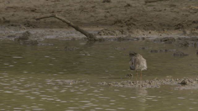 common redshank preens itself, sri lanka. - クサシギ属点の映像素材/bロール