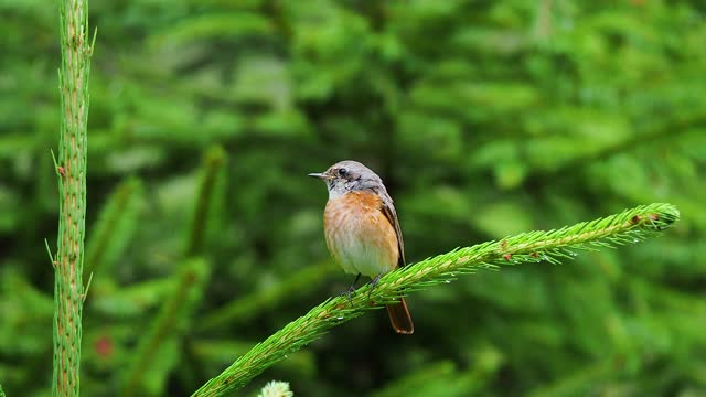 common redstart on fir branch - pinaceae stock videos & royalty-free footage
