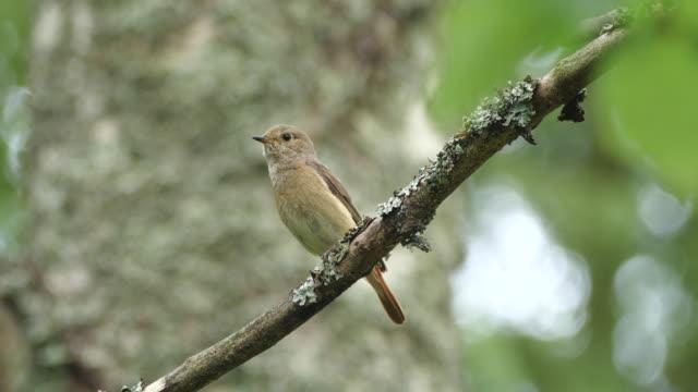 redstart comune (fenicicurus phoenicurus) che canta sull'albero - appollaiarsi video stock e b–roll