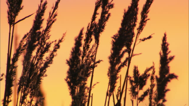vidéos et rushes de common reed (phragmites australis) flower heads at sunset, cambridgshire, uk - flore