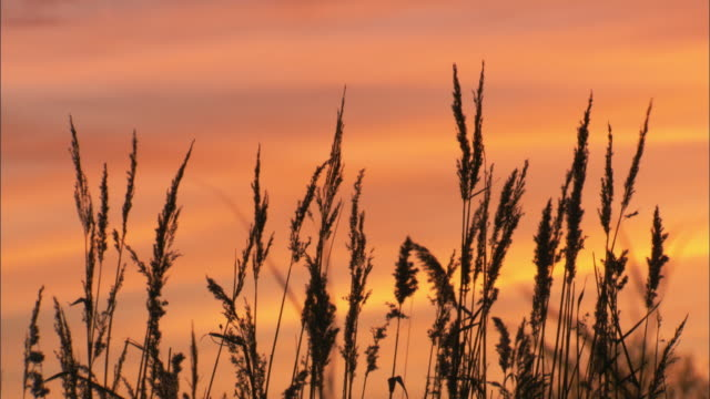 common reed (phragmites australis) flower heads at sunset, cambridgshire, uk - reed grass family stock videos & royalty-free footage