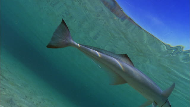slo mo ms la common remora (remora remora) swimming at ocean surface / moorea, tahiti, french polynesia - moorea stock videos and b-roll footage