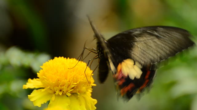 common rose butterfly - animal antenna stock videos & royalty-free footage