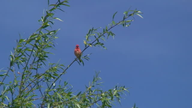 vídeos de stock, filmes e b-roll de rosefinch comum no vento - vista de ângulo baixo