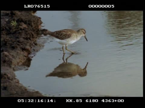 ms common sand piper wading, feeding - 動物の口点の映像素材/bロール