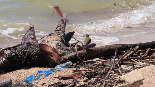 common sandpiper (actitis hypoleucos) bird walking on dirty sand beach. - sandpiper stock videos & royalty-free footage