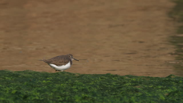 vidéos et rushes de a common sandpiper walking in the marsh by the water's edge. actitis hypoleucos. - water bird