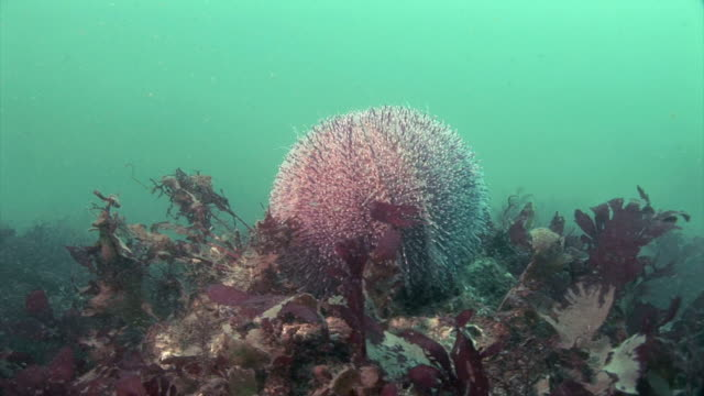 stockvideo's en b-roll-footage met common sea urchin (echinus esculentus) at martin's haven in pembrokeshire, wales - pembrokeshire