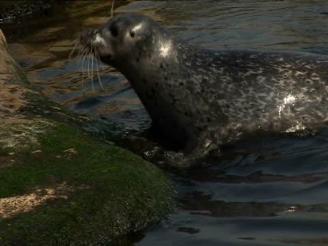 common seal, in enclosure, leaving  , human interaction - enclosure stock videos & royalty-free footage