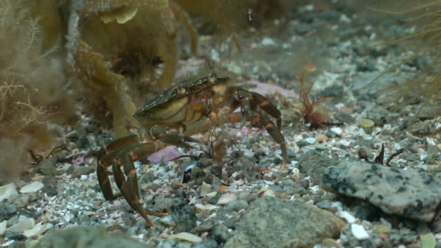 common shore crab in kelp forest - crab stock videos & royalty-free footage