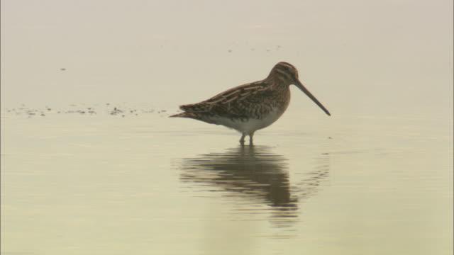 common snipe (gallinago gallinago) feeding on mudflats, norfolk, uk - water bird stock videos & royalty-free footage
