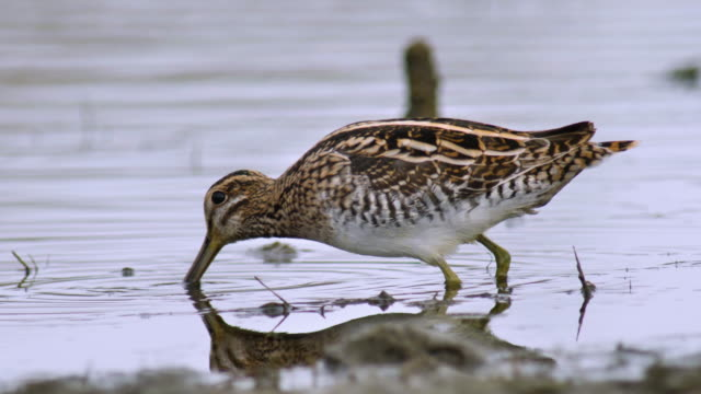 common snipe - sandpiper stock videos & royalty-free footage