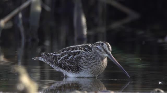 common snipe (gallinago gallinago) - sandpiper stock videos & royalty-free footage