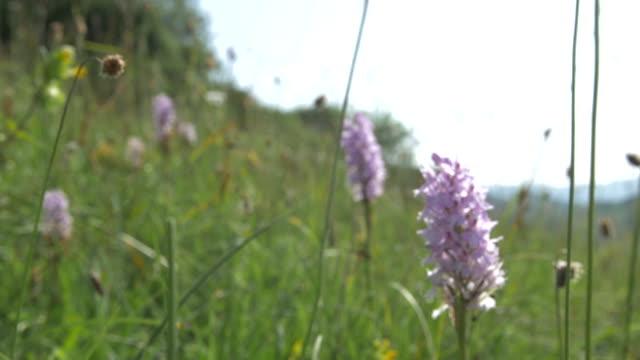 common spotted orchids (dactylorhiza fuchsii) grassland, south downs - サウスダウンズ点の映像素材/bロール
