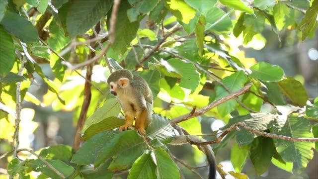 common squirrel monkey - ecuador stock videos & royalty-free footage