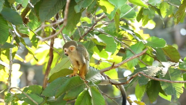 vídeos de stock e filmes b-roll de macaco esquilo-comum - animal hair