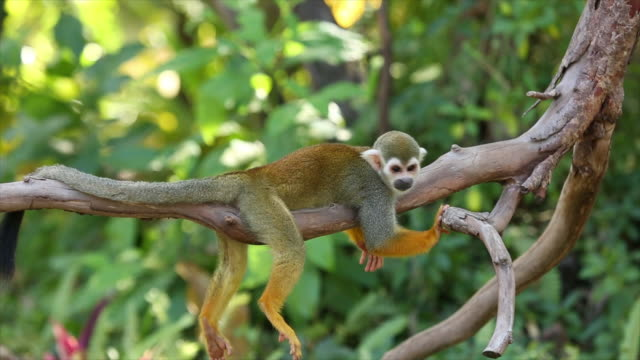 common squirrel monkeys. - animals in the wild stock videos & royalty-free footage