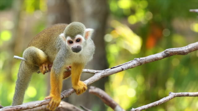 common squirrel monkeys. - ecuador stock videos & royalty-free footage