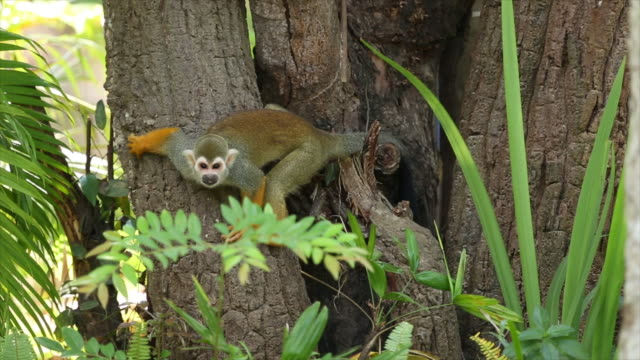 common squirrel monkeys. - roditore video stock e b–roll