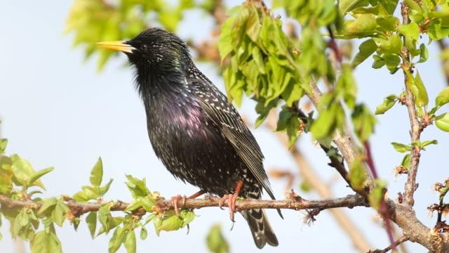common starling _sturnus vulgaris_ standing on a branch on a sunny day - ムクドリ点の映像素材/bロール