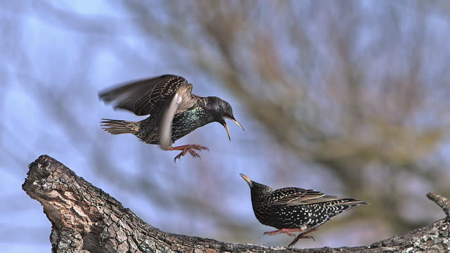 ms slo mo common starling (sturnus vulgaris) adults fighting in flight / vieux pont, normandy, france - songbird stock videos & royalty-free footage