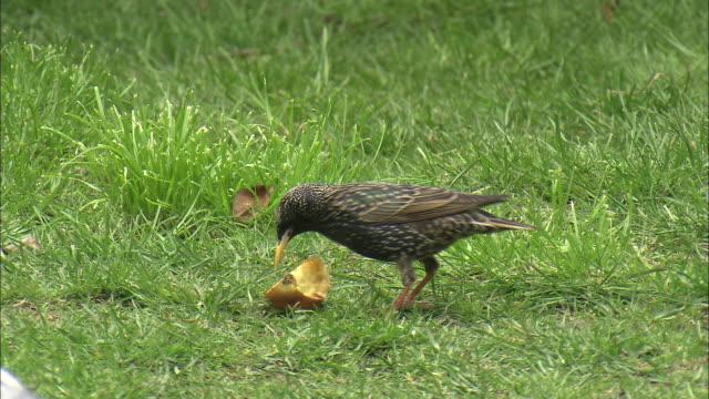 Common starling (Sturnus vulgaris) feeds on apple in garden, Glasgow, Scotland