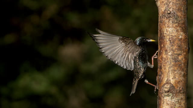 common starling, sturnus vulgaris, adult flapping wings on tree trunk,  slow motion - sturnidae stock-videos und b-roll-filmmaterial