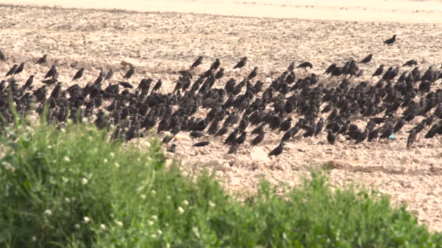 common starlings 2 - flock of birds stock videos & royalty-free footage