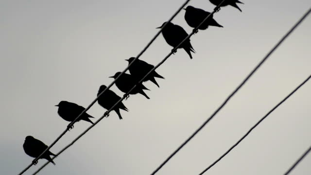 vídeos y material grabado en eventos de stock de common starlings _sturnus vulgaris_ standing on a wire and then taking off - cable