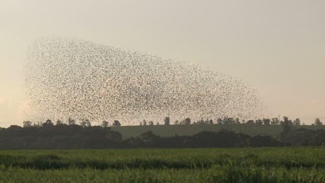 vidéos et rushes de common starlings in murmuration flight - etourneaux