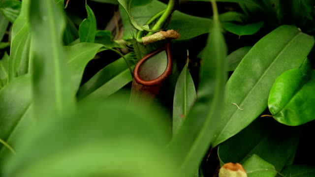 common swamp pitcher-plant - insectivore stock videos & royalty-free footage