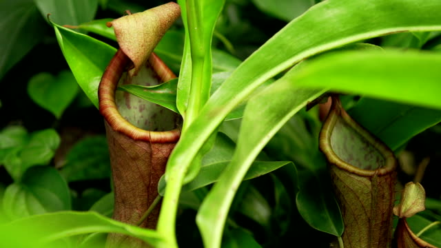 common swamp pitcher-plant - trapped stock videos & royalty-free footage