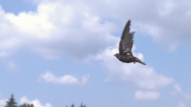 CU SLO MO Common Swift (apus) Flight against Blue Sky / Normandy, Calvados, France