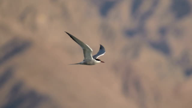 Common Tern is Hovering in the sky