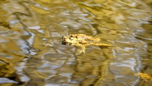 vídeos de stock e filmes b-roll de common toad in mating time - sapo