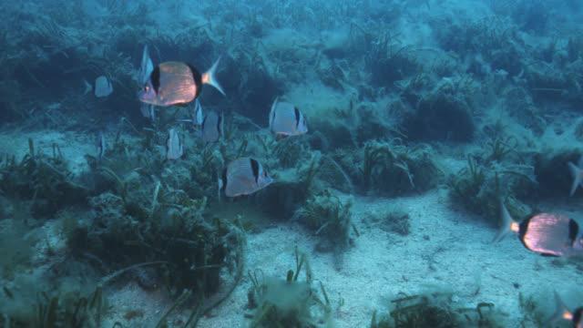 vidéos et rushes de common two-banded seabream (diplodus vulgaris) - vincent pommeyrol