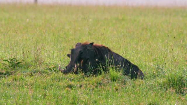 vídeos de stock, filmes e b-roll de common warthog digging maasai mara, kenya, africa - javali africano