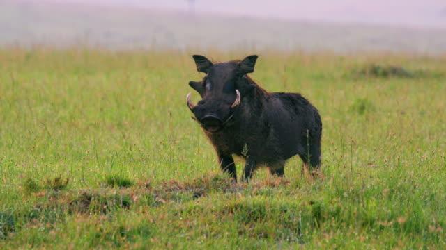vídeos de stock, filmes e b-roll de common warthog grazing maasai mara, kenya, africa - javali africano