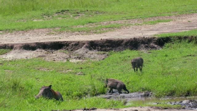 vídeos de stock, filmes e b-roll de common warthogs grazing, maasai mara, kenya, africa - javali africano