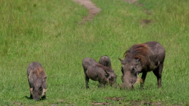 common warthogs grazing, maasai mara, kenya, africa - griskulting bildbanksvideor och videomaterial från bakom kulisserna