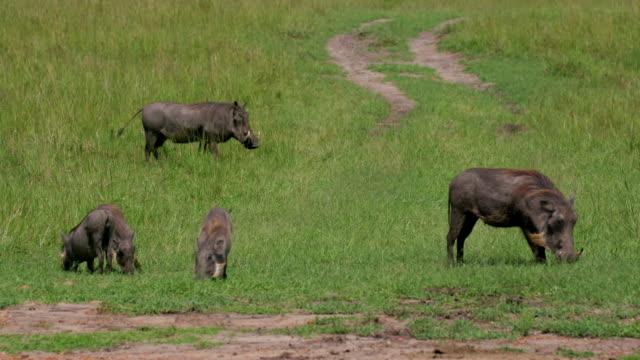 common warthogs grazing, maasai mara, kenya, africa - safari animals stock videos & royalty-free footage