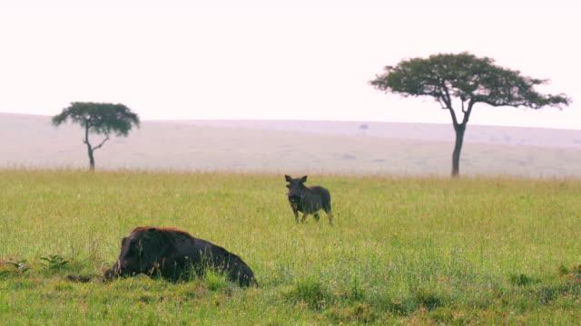 vídeos de stock, filmes e b-roll de common warthogs observing maasai mara, kenya, africa - javali africano