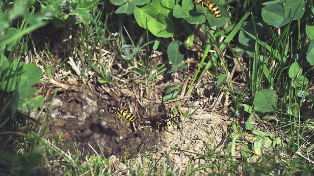 common wasp, vespula vulgaris, flying to nest in the ground, slow motion - 四匹点の映像素材/bロール
