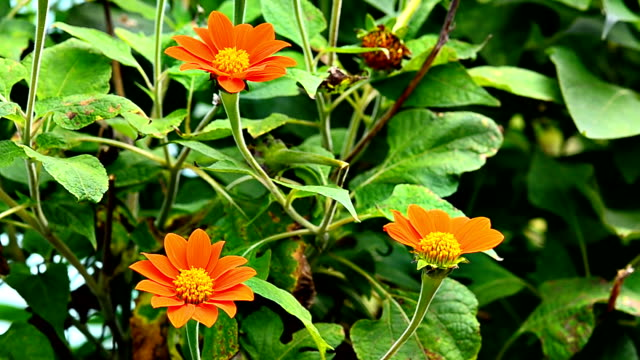 Common zinnia