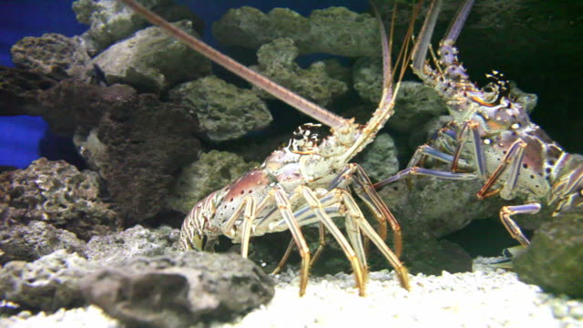 communication 1 - hd 30p - lobster animal stock videos & royalty-free footage